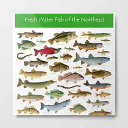 Illustrated Northeast Game Fish Identification Chart Metal Print