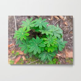 The Star Shrub Of Spite Metal Print