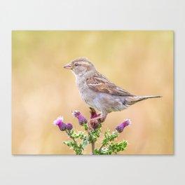 Female Sparrow Canvas Print