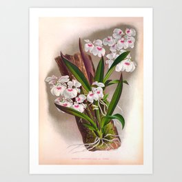 Ionopsis Paniculata Vintage Little White Orchids Art Print
