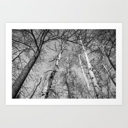 Birch Tree Black and White Photography Art Print