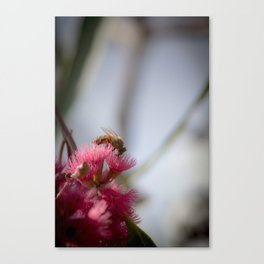 Bee on Red Wattle Tree Canvas Print