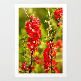 Chaenomeles shrub red flowering Art Print