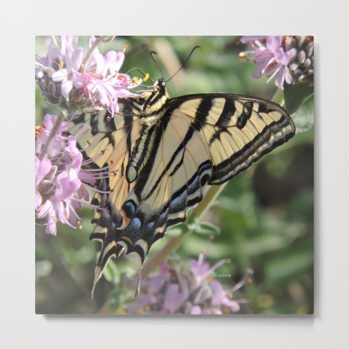 Western Tiger Swallowtail on Lemon Blossoms Metal Print