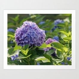 Hydrangea in Bloom Art Print