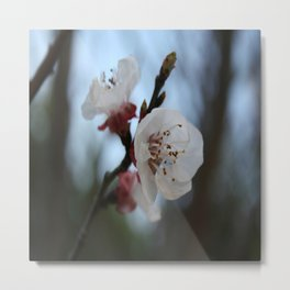 Close Up Apricot Blossom In Pastel Shades Metal Print