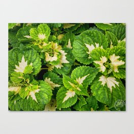 Green Leaves of Madison Avenue Canvas Print