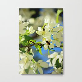 A bee and apple blossoms Metal Print