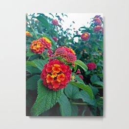 Lantana camara in red Metal Print