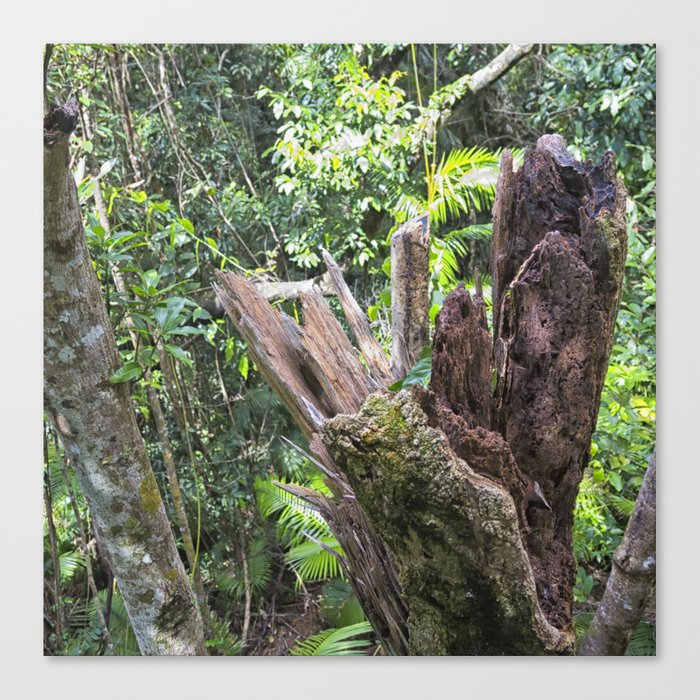 A cyclone damaged tree in the rain forest Canvas Print