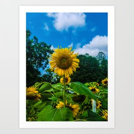 Giant Sunflower Art Print