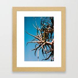 Aloe dichotoma Framed Art Print