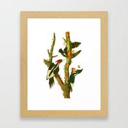 Ivory-billed Woodpecker Framed Art Print