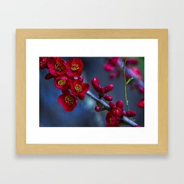 Red Flowering Quince Framed Art Print