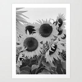 Colby Farm Sunflowers Art Print