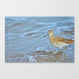 Wading Willet Canvas Print