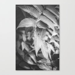 Leaves in a black and white version Canvas Print