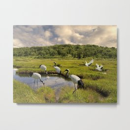 The Japanese Cranes of the Hokkaido Wetlands Metal Print