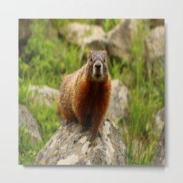 On The Rocks Marmot Metal Print