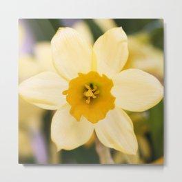Tête-à-Tête Daffodil Fully Open Metal Print