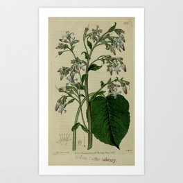 Flower Oriental Borage borago orientalis2 Art Print