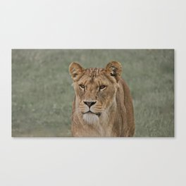 The English Lioness Canvas Print