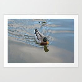 Mallard duck swimming in a turquoise lake 1 Art Print