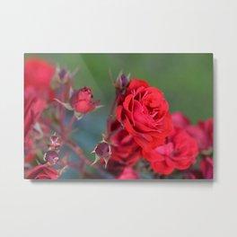 Blooming Roses Metal Print