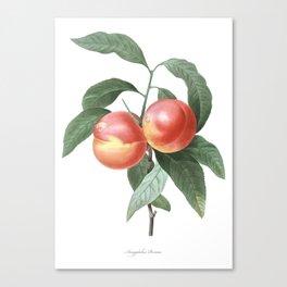 HIGHEST QUALITY botanical poster of Peach Canvas Print