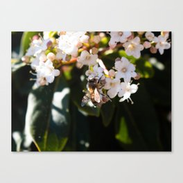 Bee in Late Winter (2 of 2) Canvas Print