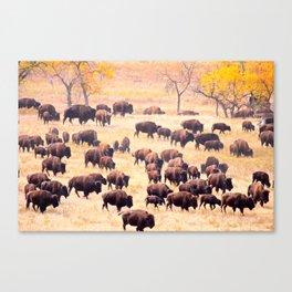 Buffalo Roundup at Custer State Park Canvas Print