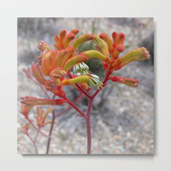 Orange Kangaroo Paw Flowers Metal Print