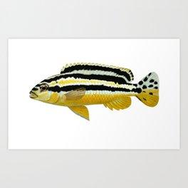 Malawi cichlids Melanochromis auratus female Art Print