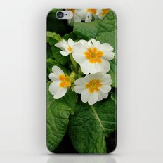 Little primula flower at the park iPhone & iPod Skin