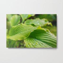 Hosta Leaves. Raindrops Metal Print