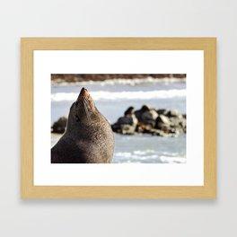New Zealand fur seal - Arctocephalus forsteri Framed Art Print
