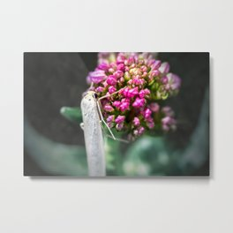 Macro of white night butterfly insect on valerian pink flower Metal Print