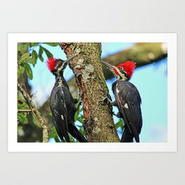 A Pair of Pileated Woodpeckers Art Print