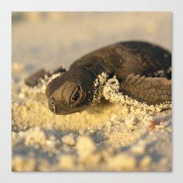 Baby Turtle Canvas Print