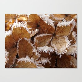 Pee Gee Hydrangea Trimmed with Frost Canvas Print