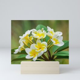 Plumeria rubra flowers Mini Art Print
