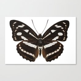 butterfly species Athyma reta moorei common name malay staff sergeant Canvas Print