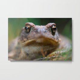 Spiny Toad (Bufo spinosus) Metal Print