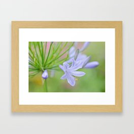 Simple Agapanthus Framed Art Print