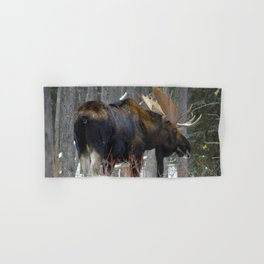 Massive male moose on the loose in Jasper National Park Hand & Bath Towel