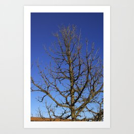 Bur Oak, Quercus macrocarpa, Wisconsin tree, prairie, savanna Art Print