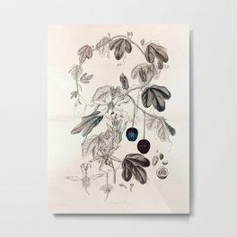 Murucuja baueri/Passiflora aurantia Metal Print
