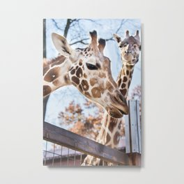 Living Treasures Animal Park - Giraffes Metal Print