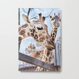 Living Treasures Animal Park - Giraffes Metal Print