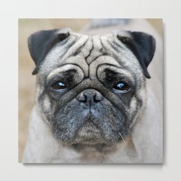 Precious Pug Metal Print